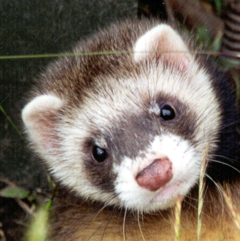 Ferrets are great fun!